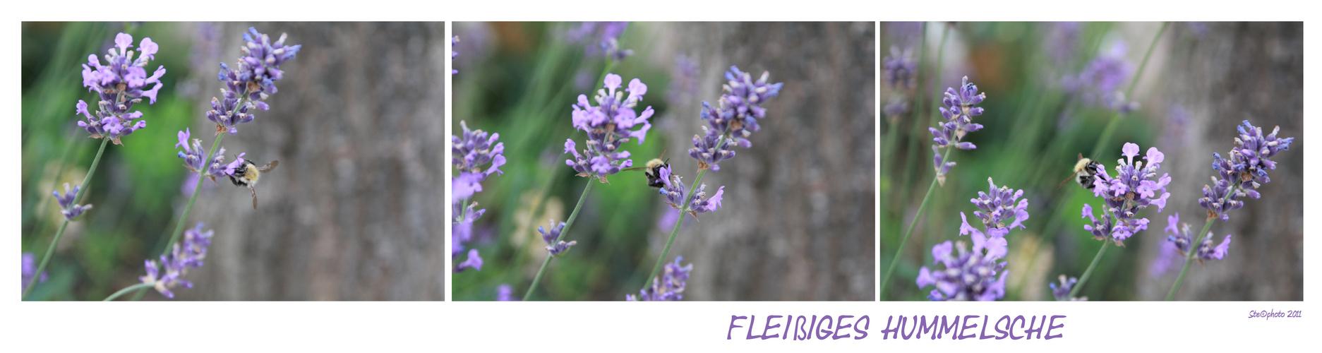 fleißiges Lavendel-HUMMELSCHE