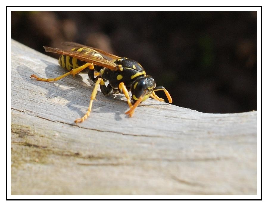 Fleißiges Wespchen