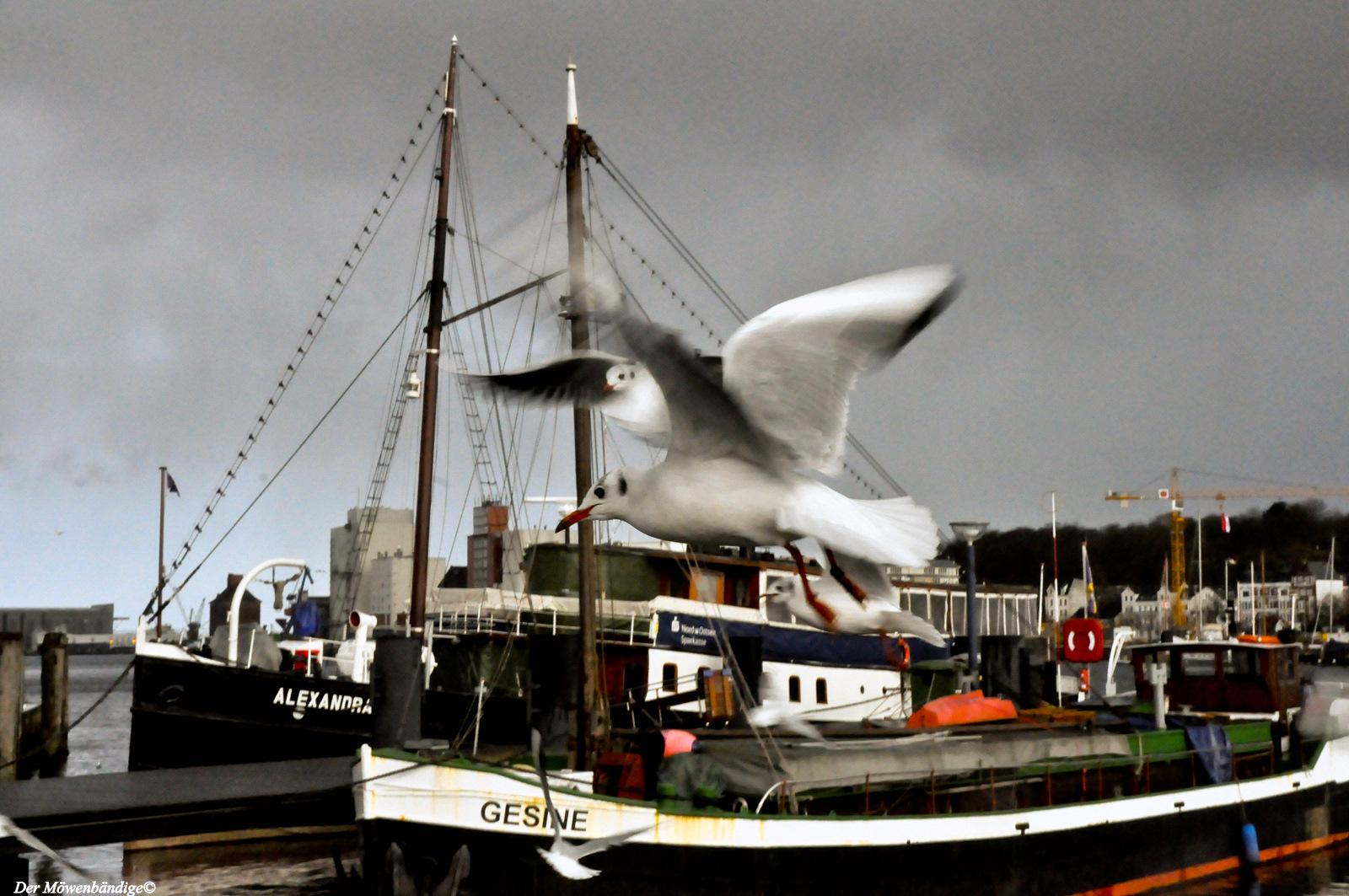 Flensburger-Museumshafen-Lachmöwen