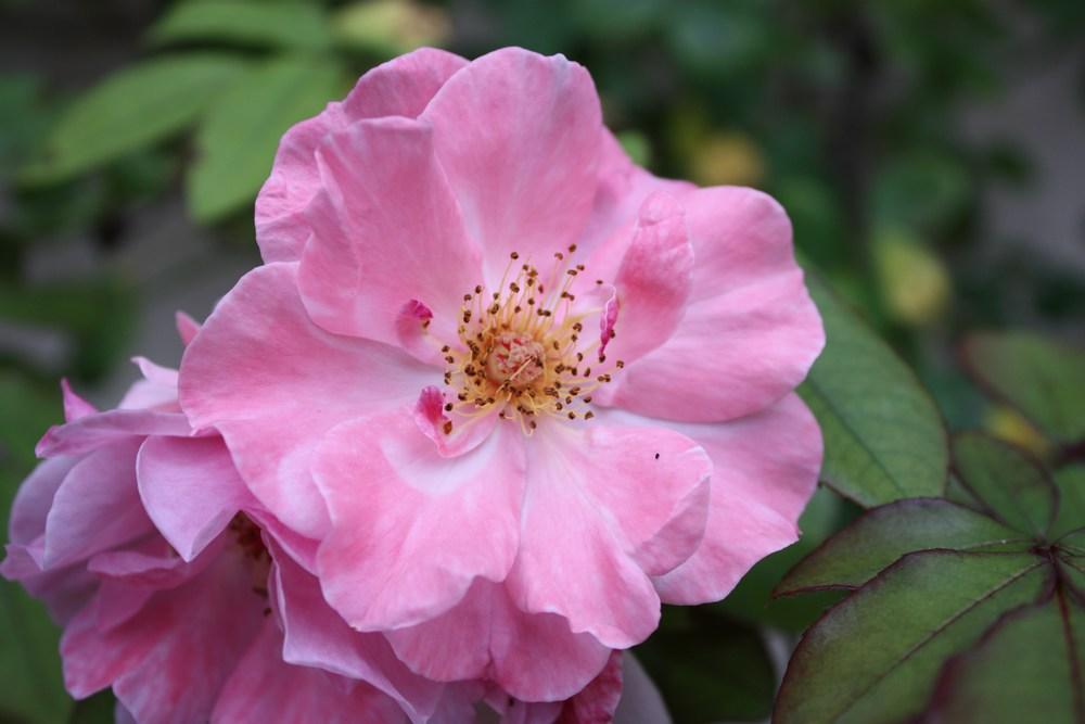 fleur bis