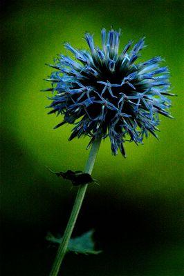 Fleur Bleu