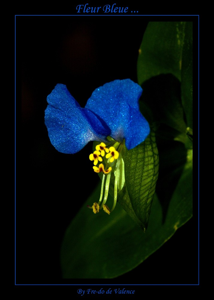 Fleur bleue ...