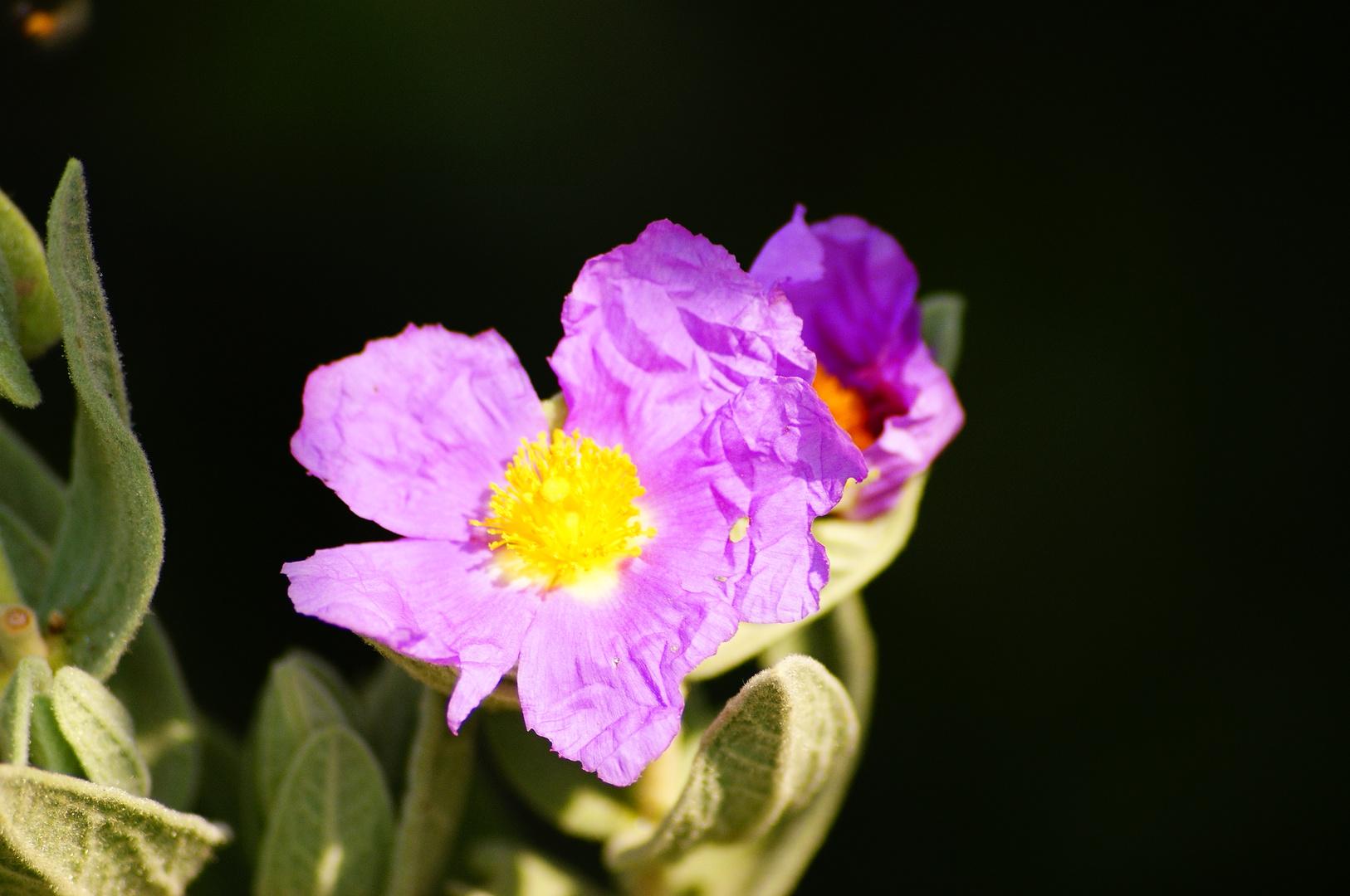 Fleur chiffonnée