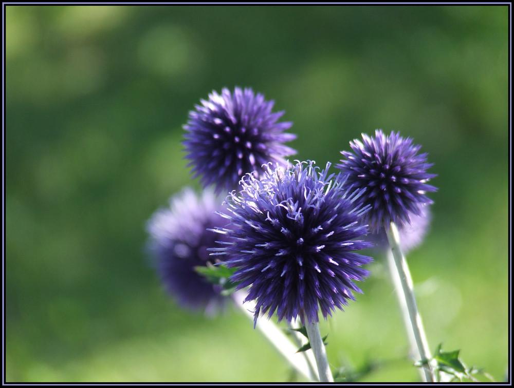Fleur d'azay...