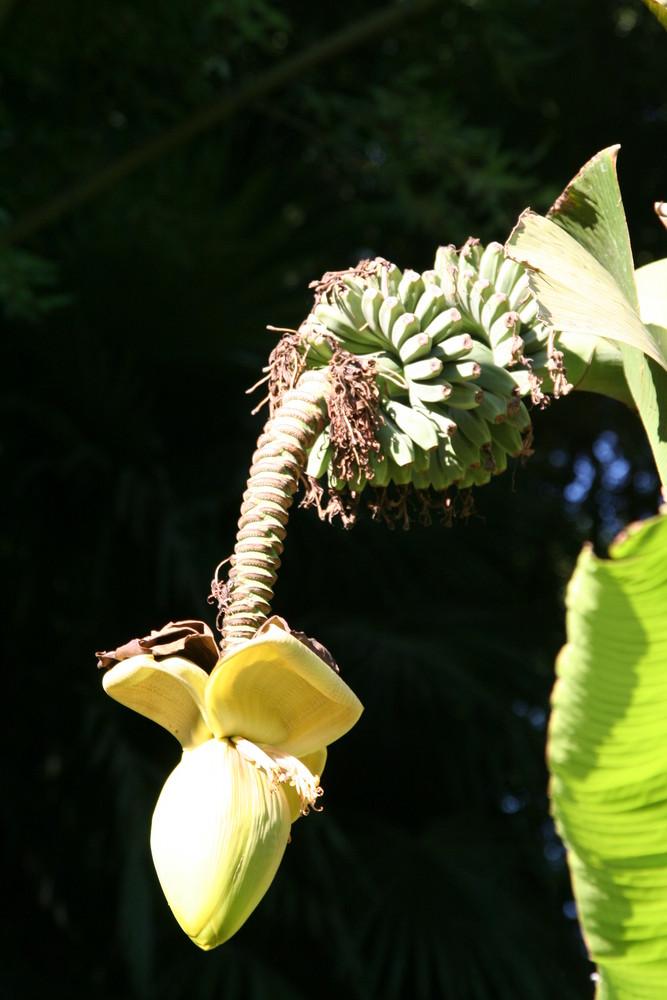 Fleur de bananier ?