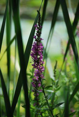 fleur de bassin