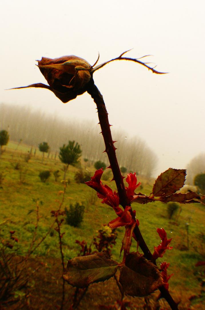 Fleur de brouillard