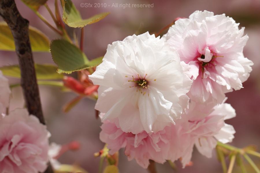 ...Fleur de Cerisier...
