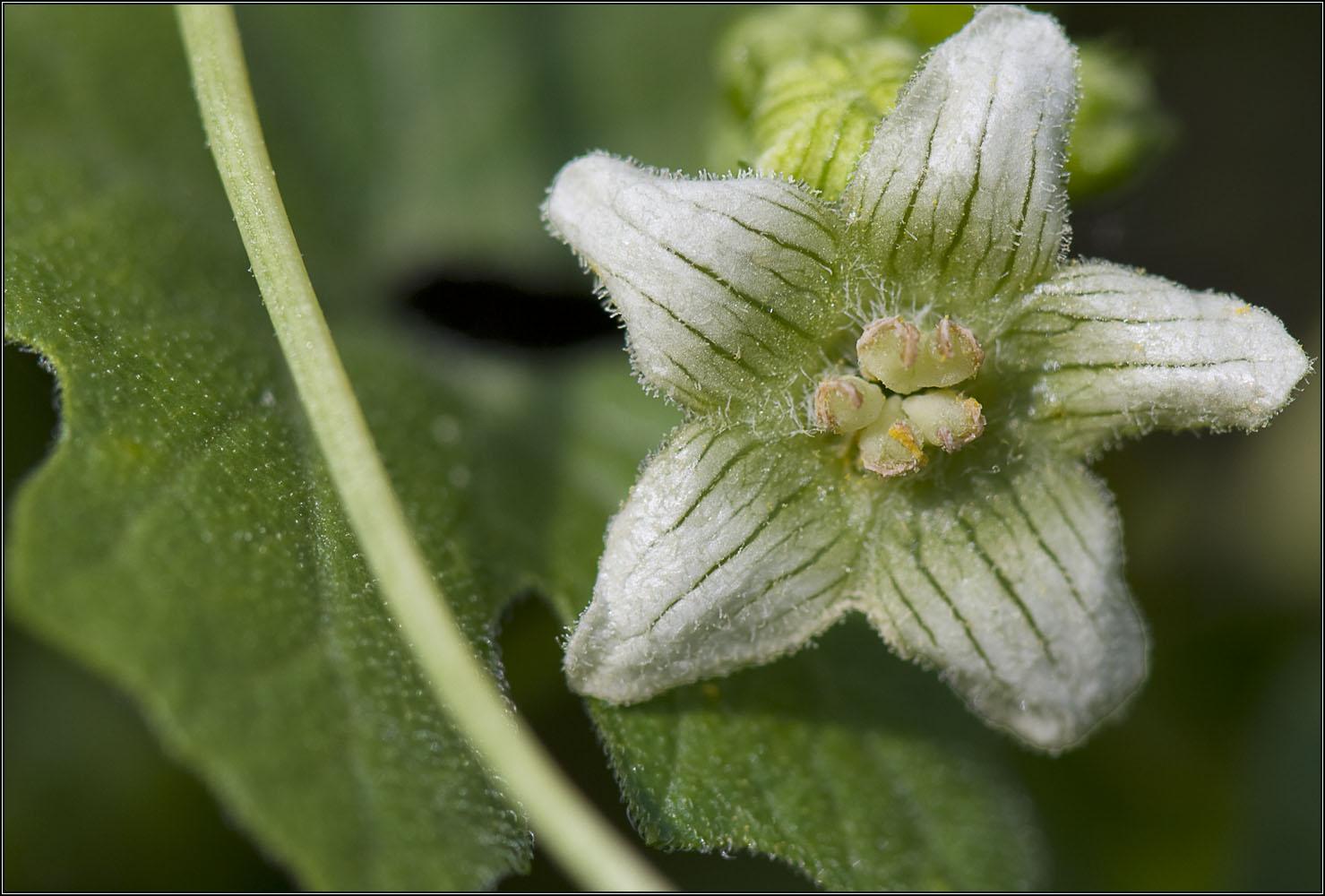 Fleur de clématite sauvage