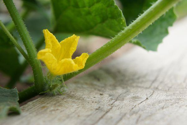 Fleur de concombre