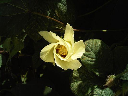 Fleur de cotonnier