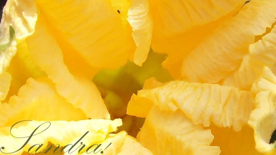 Fleur de courgette...