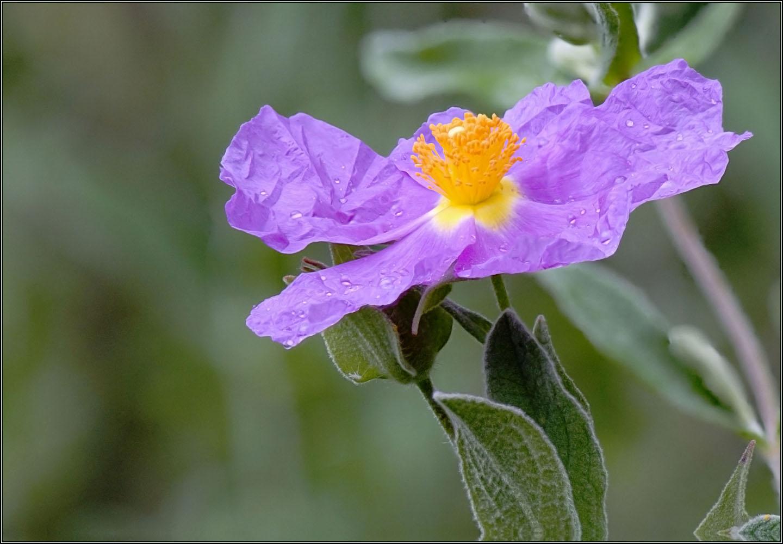 Fleur de cyste