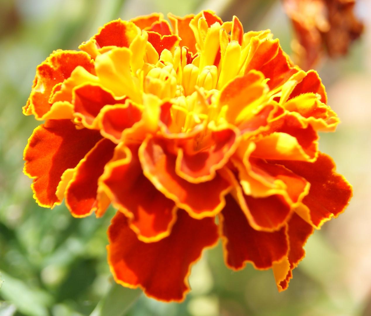 fleur de flame