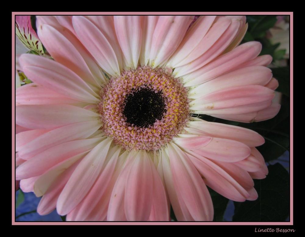 fleur de gerbéra