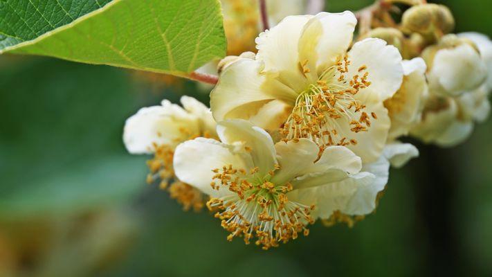Fleur de Kiwi....