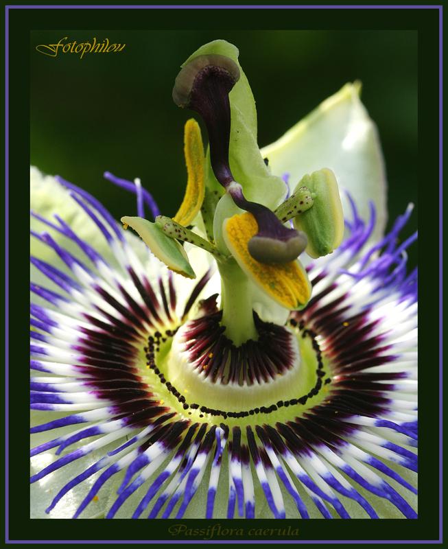 Fleur de la Passion (Passiflora caerula)