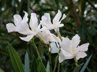 fleur de laurier