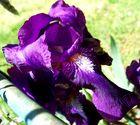 Fleur de lila