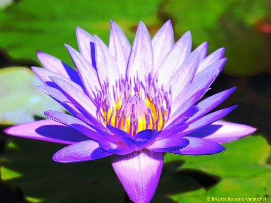 Fleur de Lotus, Bali.
