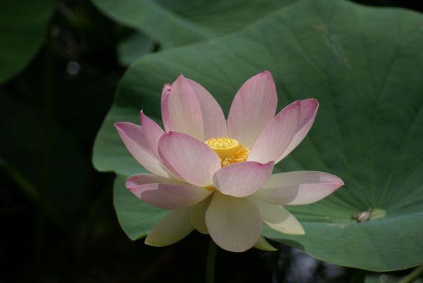Fleur de lotus : de la boue nait la pureté.