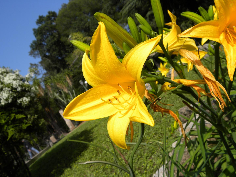 Fleur de Lys - Jardin anglais de Palerme