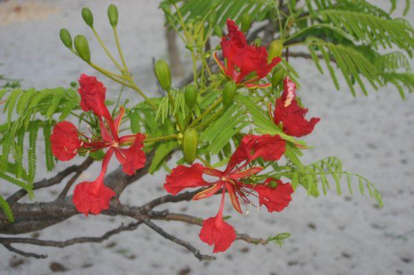 fleur de madagascar