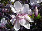 fleur de magniolia