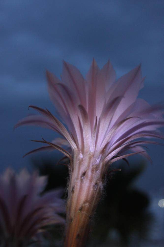 Fleur de Mammillaria
