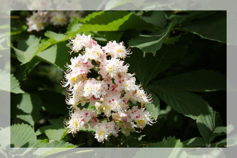 fleur de marronier