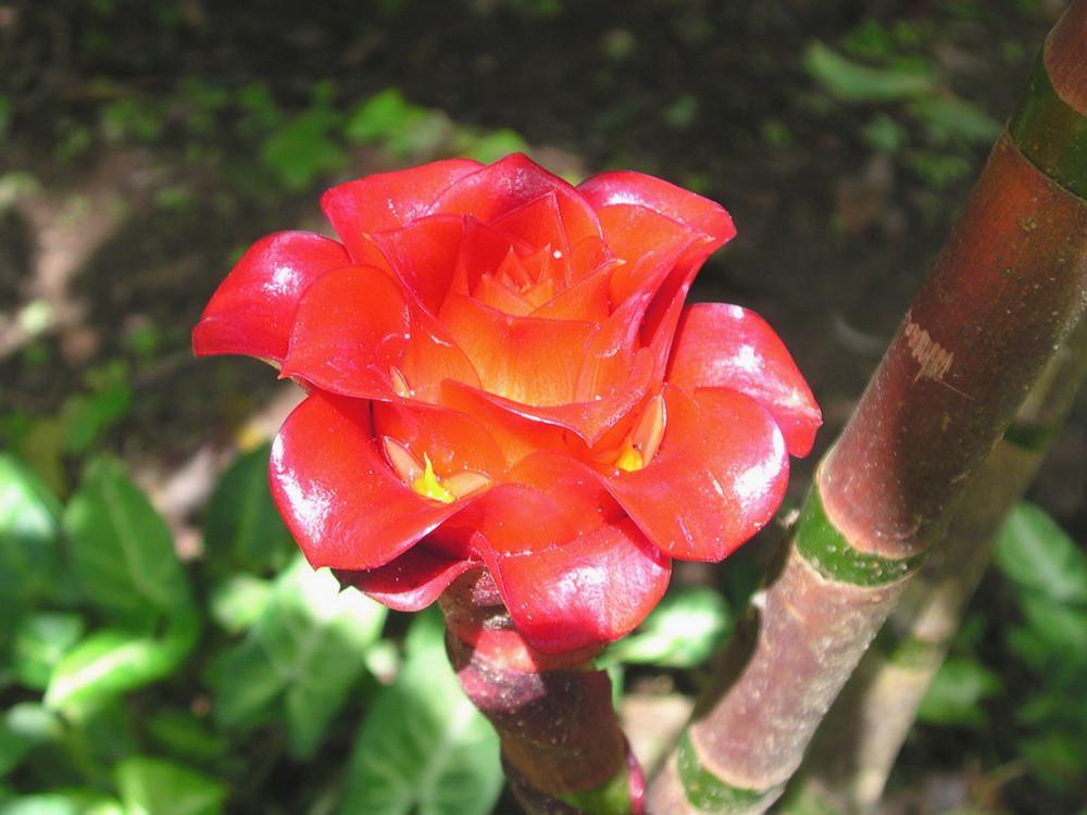 Fleur De Martinique Rose Idee D Image De Fleur