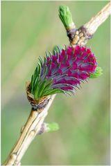 Fleur de mélèze (1)