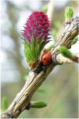 Fleur de mélèze (3)