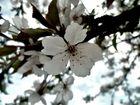 fleur de merisier de jour