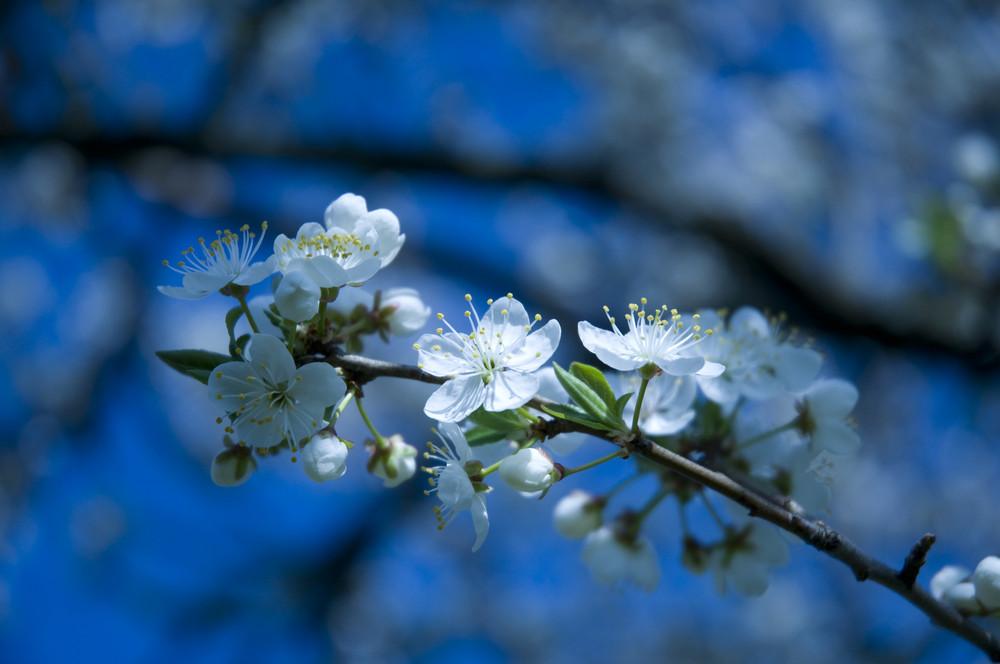 Fleur de Mirabellier