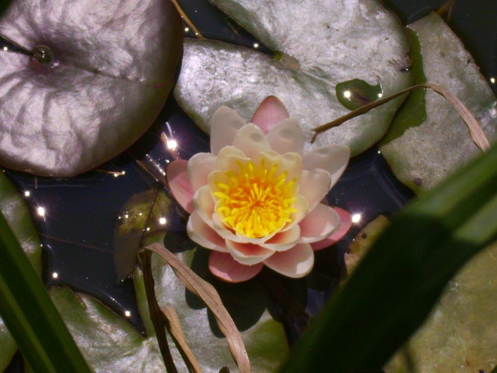 fleur de nenuphar
