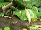 fleur de nenuphar et libellule