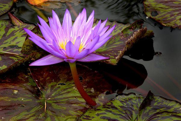 Fleur de Nénuphars