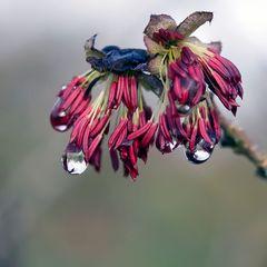 Fleur de Parrotia persica