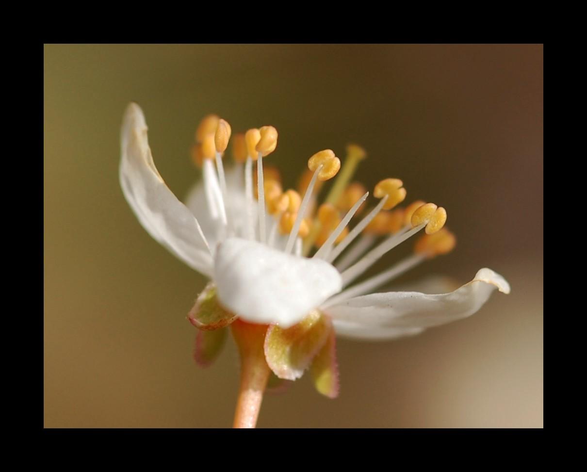 fleur de pêcher