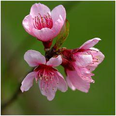 Fleur de pécher