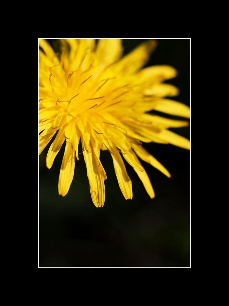 Fleur de pissenlit