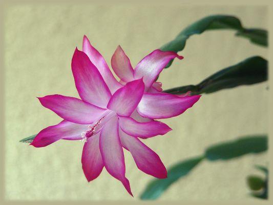 Fleur de plante grasse