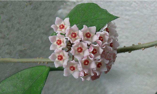 fleur de porcelaine (nom commun)