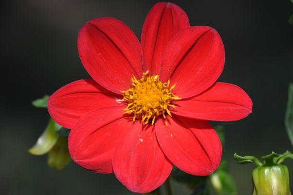 fleur de primptent