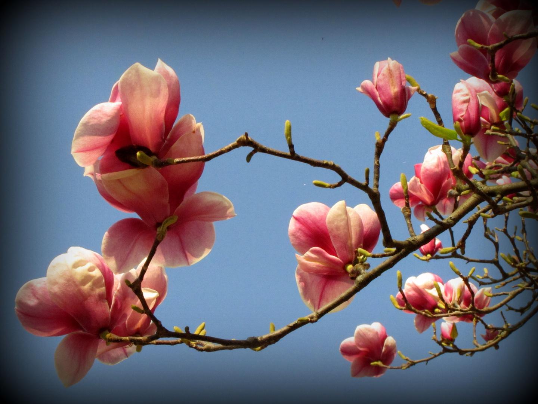 fleur de printemps photo et image fleurs printemps magnolia images fotocommunity. Black Bedroom Furniture Sets. Home Design Ideas