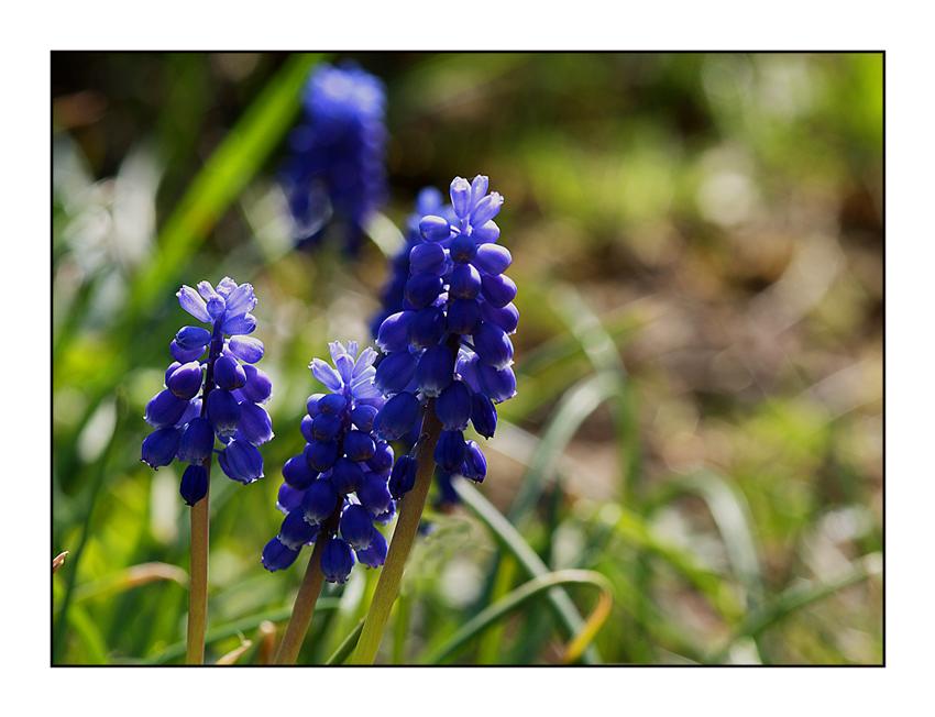 Fleur de printemps (ll) ....