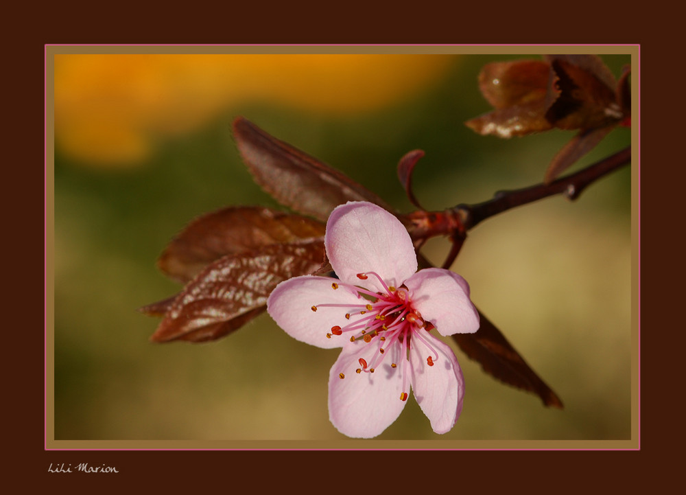 Fleur de Prunus Japonicus