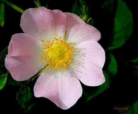 Fleur de rosiers sauvages ...