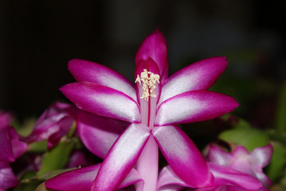 Fleur de St BARBES ou aussi appelé cactus de noel